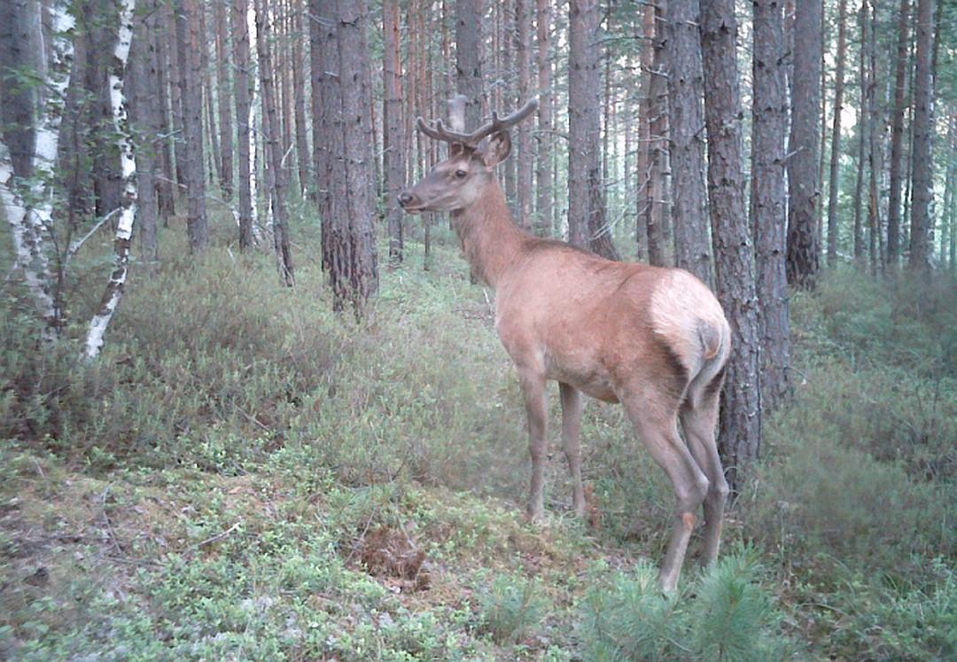 Таежный блогер: сибиряк ставит фотоловушки в лесу и снимает фильмы о диких животных