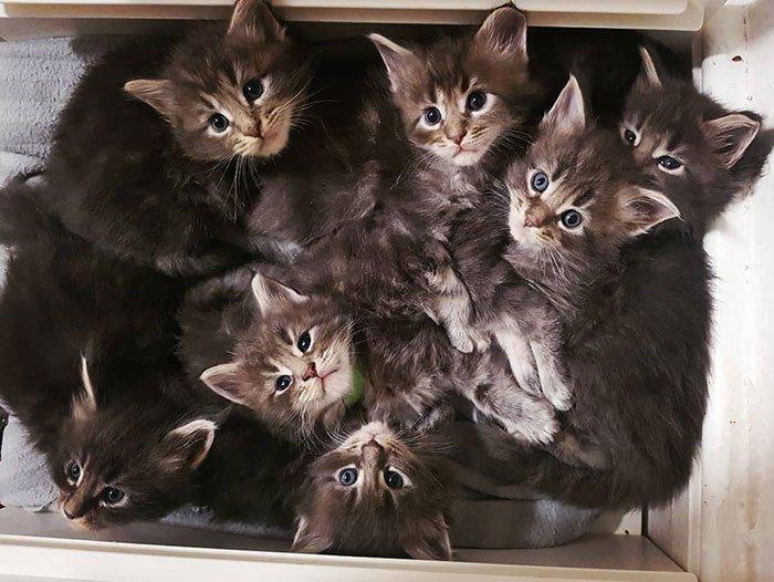 Очаровательные котята мейн-кун, которых вы просто должны увидеть домашние животные