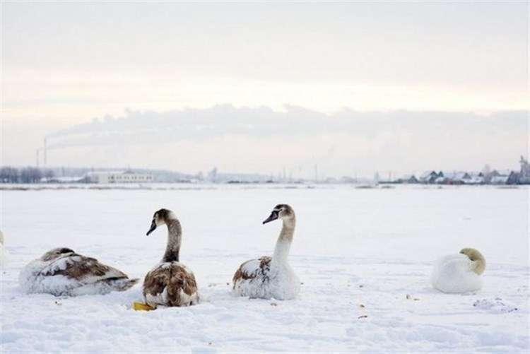 Женщина спасла целую стаю лебедей, замерзающих на пруду супер