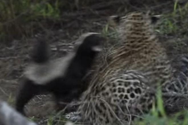 Ягуар напал на медоеда и тут же получил отпор от его африка