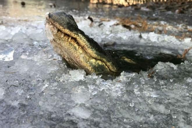 Как выживают крокодилы в суровые морозы животные
