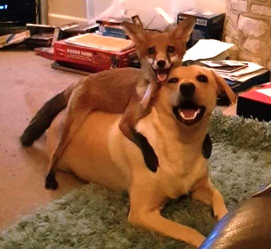Девушка вырастила дикого лисенка вместе со своими собаками животные
