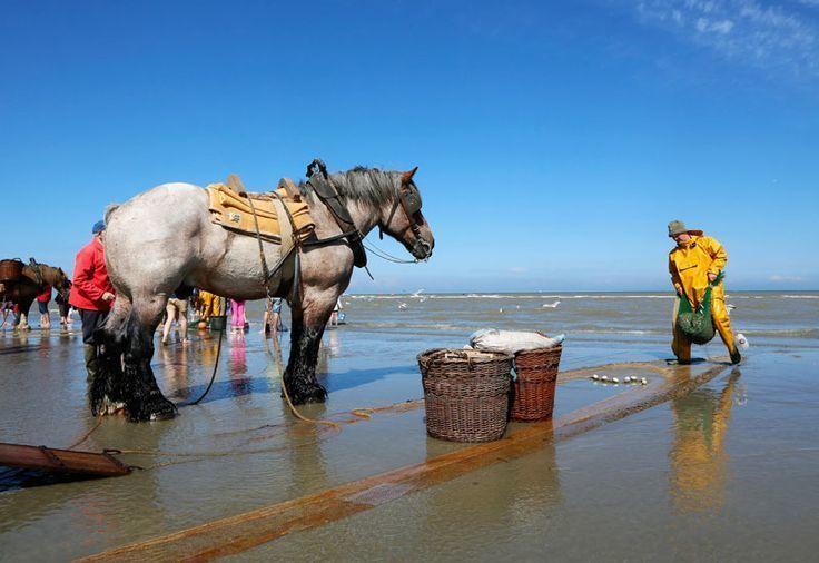Как лошади помогают бельгийцам ловить креветок: промысел, которому более 500 лет бельгия